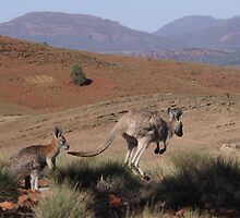 Roos at Flinders Rangers National Park, SA by Chris  Widmer