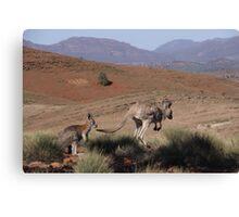 Roos at Flinders Rangers National Park, SA Canvas Print