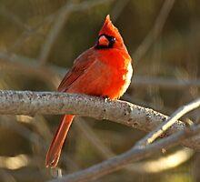 Northern Cardinal Songbird  - Cardinalis cardinals #1 by MotherNature