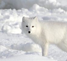 White on White. Arctic Fox #1, on the Tundra, Hudson Bay, Canada Sticker