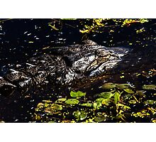 Sleeping Alligator Photographic Print