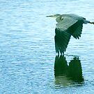 Grey Heron by sandmartin