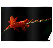 Red flowers with dark background Poster