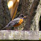 Warsaw, IN: Ruffled Robin by ACImaging