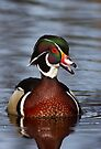 Wood duck portrait by Jim Cumming