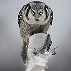 Hawk on log portrait - Northern Hawk Owl by Jim Cumming