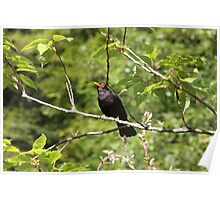 Solitary Blackbird Poster