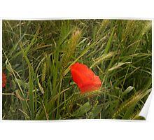 Lost Poppy Poster