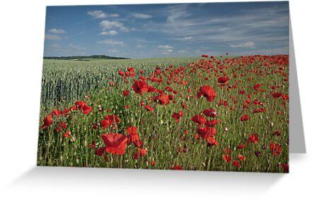 Poppy field by photontrappist