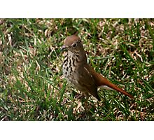 Hermit Thrush Photographic Print
