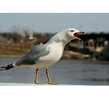 Raucous Gull Photographic Print