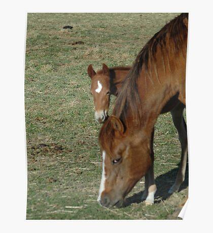 Peeking Foal Poster