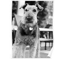 Airedale Alert Poster