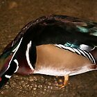 Drake Wood Duck by Larry Trupp
