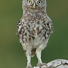 Little Owl by barnowlcentre