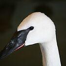 Trumpeter Swan by Larry Trupp