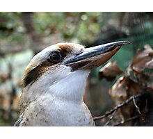 Laughing Kookaburra Photographic Print