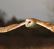 Barn Owl Flight by barnowlcentre