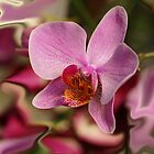Orchid in colours by Aase