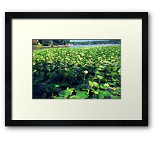 Lotus Blossoms in Bloom Framed Print