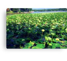 Lotus Blossoms in Bloom Canvas Print