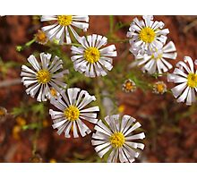 Outback Australian  Wild flowers, Cobar , NSW. Photographic Print