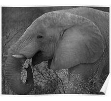 Elephant - Etosha National Park Poster