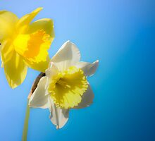 Daffodil in the Blue by Sean LaBelle