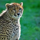 A Cheetah At Orana Wildlife Reserve, Christchurch. South Island, New Zealand. by Ralph de Zilva