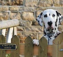 Be aware of the Dalmation by Catherine Ames