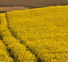 tracks in rape field by Catherine Ames