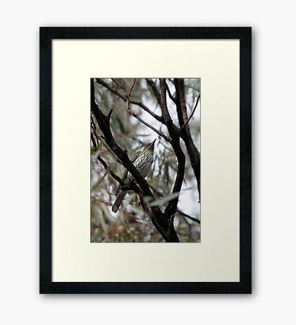 Olive-backed Oriole Framed Print