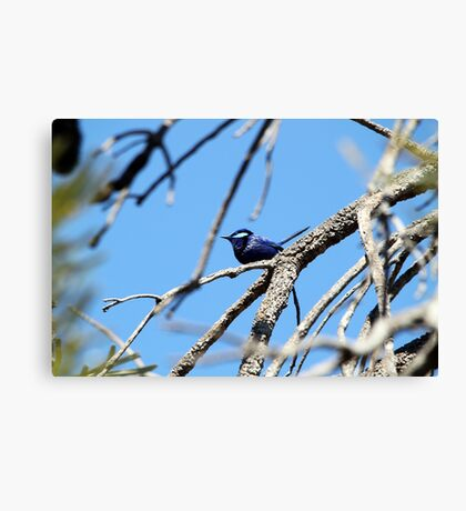 Splendid Fair Wren Canvas Print