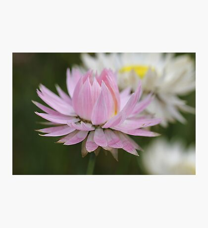 Pretty Pink Daisy Photographic Print