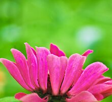 Dreaming Pink by Ravi Chandra
