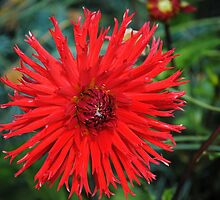 Fiery Red Dahlia  by Dorothy Thomson