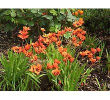 Orange corner- Ixias in full bloom - spring 2010 Photographic Print