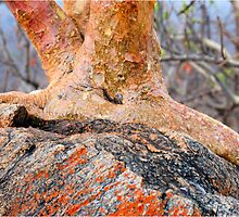 ANCHORED FOR LIFE - Root of the Rock Fig by Magaret Meintjes