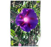 clear purple petals Poster