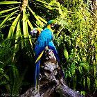 Blue Macaw by Sérgio Grilo