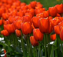Tulips by breewood