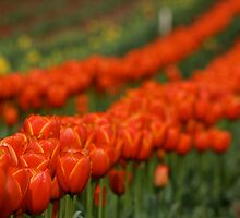 T for Tulips by breewood
