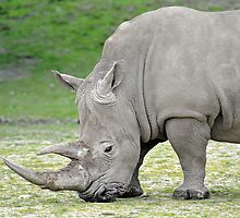 A White Rhinoceros At The Orana Wildlife Services, Christchurch. South Island, New Zealand. by Ralph de Zilva