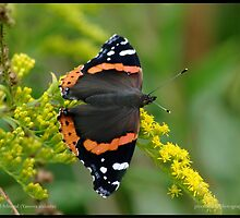 Red Admiral on Goldenrod... by pieceoflace