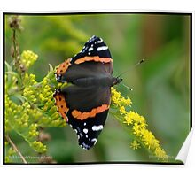 Red Admiral on Goldenrod... Poster