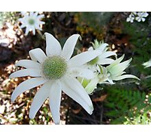 Flannel Flowers Photographic Print