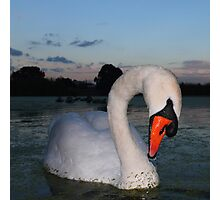 Twilight Swan Photographic Print