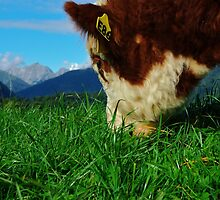 """a meal and a view"" flagstaff hereford stud, south island, new zealand by rina  thompson"