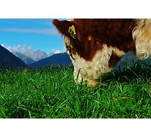 """a meal and a view"" flagstaff hereford stud, south island, new zealand Photographic Print"