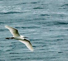A Little Egret flying over a lake. by Lesogorman